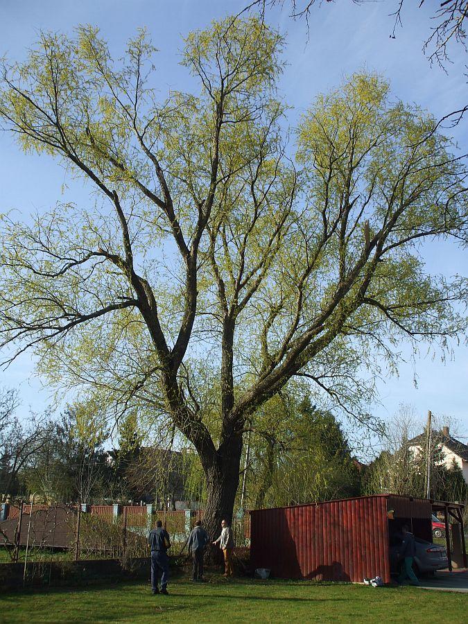 Felmérés , szép nagy fa